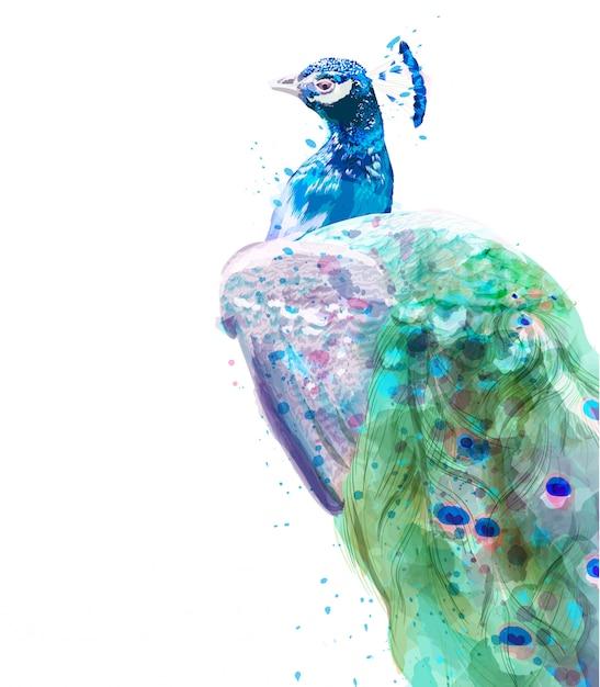 Pfau isoliert aquarell. sommer exotische vögel dekor Premium Vektoren