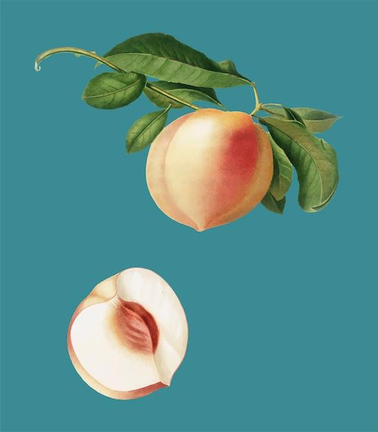 Pfirsich von pomona italiana-abbildung Kostenlosen Vektoren
