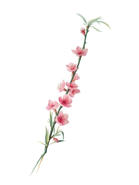 Pfirsichblüten von pomona italiana-illustration Kostenlosen Vektoren