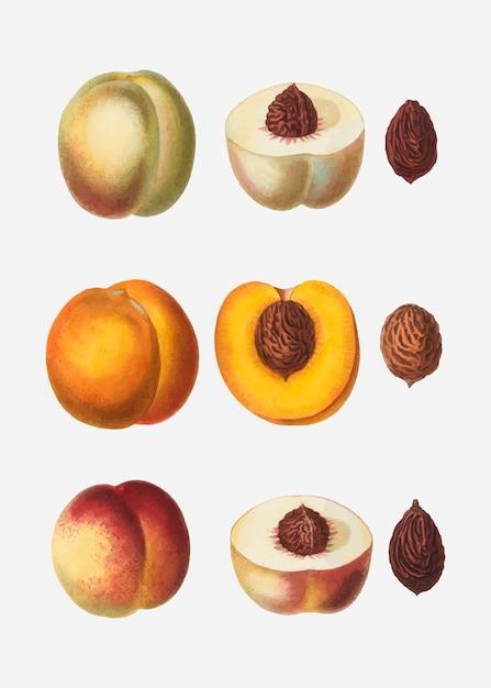 Pfirsiche in einer reihe Kostenlosen Vektoren