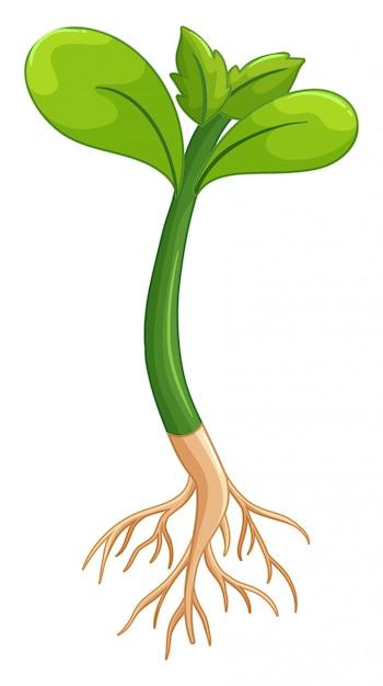 Pflanze mit grünen blättern und wurzeln Premium Vektoren