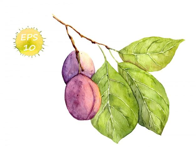 Pflaumenfrucht auf weiß Premium Vektoren