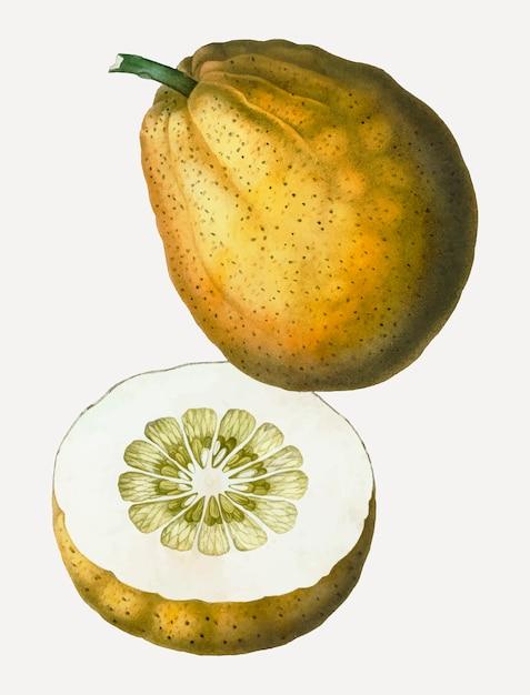 Pomelo-frucht Kostenlosen Vektoren