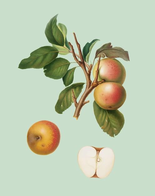 Pupina apple von pomona italiana abbildung Kostenlosen Vektoren