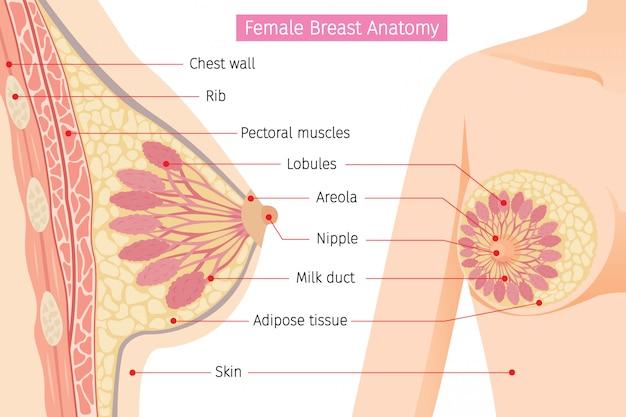 Querschnitt der weiblichen brustanatomie Premium Vektoren