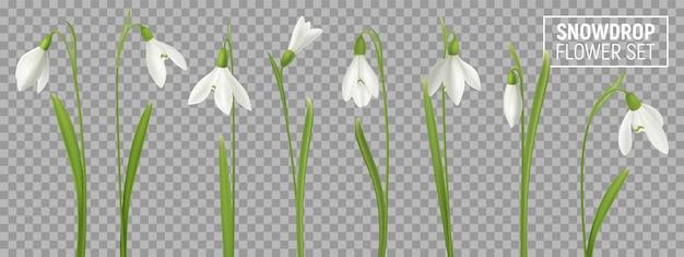 Realistische schneeglöckchenblume stellte auf transparenten hintergrund mit lokalisierten realistischen bildern des natürlichen flowerage mit stammillustration ein Kostenlosen Vektoren