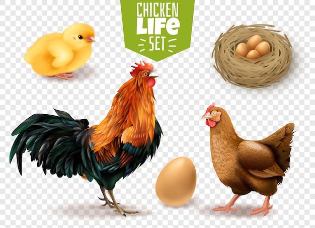 Realistischer satz des hühnerlebenszyklus von den eiern, welche die küken ausbrüten lassen, um die erwachsenen vögel transparent zu machen Kostenlosen Vektoren