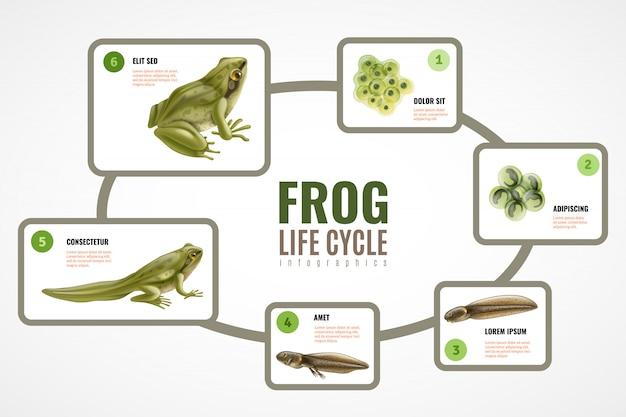 Realistisches infographic diagramm des froschlebenszyklus von der eimassenembryo-entwicklungskaulquappe zum erwachsenen tier Kostenlosen Vektoren