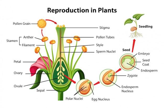 Reproduktion im pflanzendiagramm Kostenlosen Vektoren