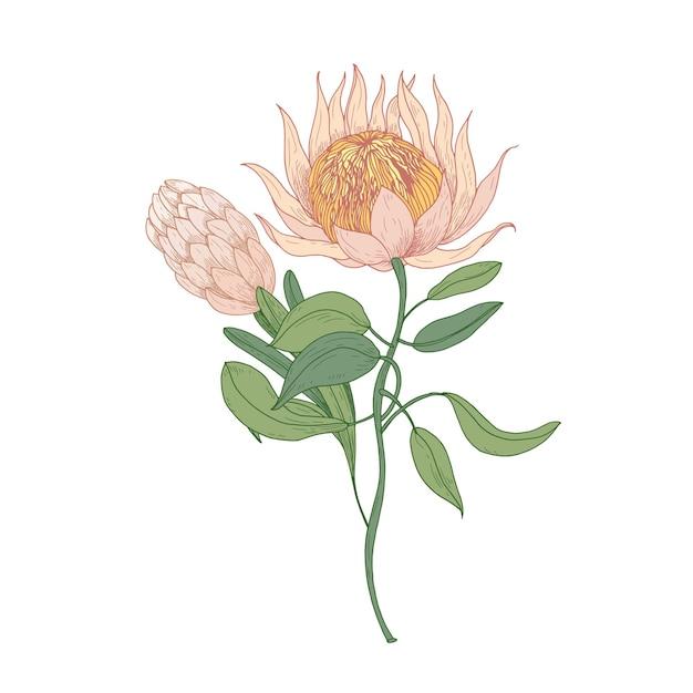 Rosa protea oder sugarbush blühende blumen lokalisiert auf weiß Premium Vektoren