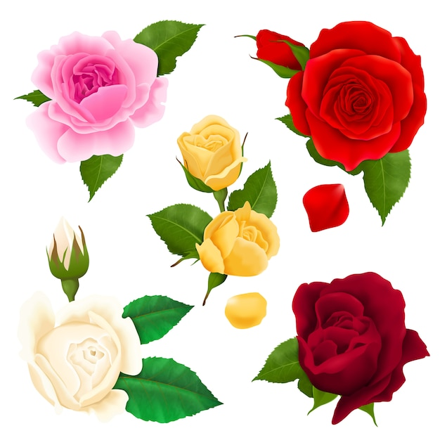 Rose blüht realistischen satz mit verschiedenen farben und formen lokalisiert Kostenlosen Vektoren