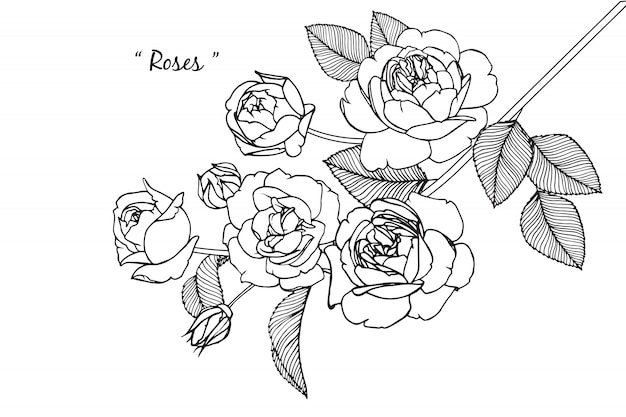 Rosenblatt und blumenzeichnungen. vintage hand gezeichnete botanische illustrationen. vektor. Premium Vektoren