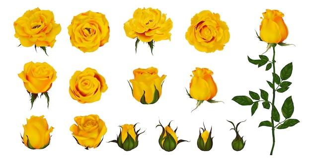 Rosenblumensatz der blühenden pflanze. gartengelb lokalisierte ikone der gelben blüte, des blütenblatts und der knospe mit grünem stiel und blatt Premium Vektoren