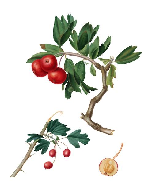 Roter dornapfel von pomona italiana-illustration Kostenlosen Vektoren