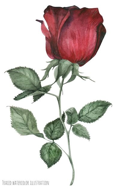 Roter garten rauchte rose Premium Vektoren