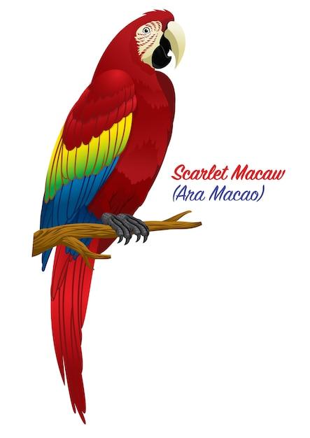 Roter scharlachrot macawvogel Premium Vektoren
