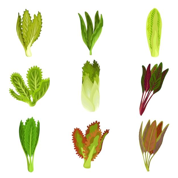 Sammlung frischer blattsalat, radicchio, kopfsalat, römersalat, kohl, kohl, sauerampfer, spinat, mizuna gesundes organisches vegetarisches lebensmittel Premium Vektoren