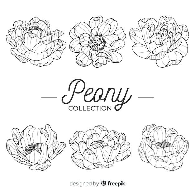 Sammlung schöne pfingstrosenblumen Kostenlosen Vektoren