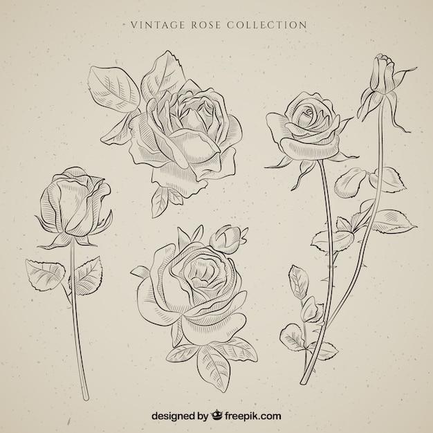 Sammlung von handgezeichneten vintage rosen Premium Vektoren