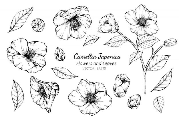 Sammlungssatz der kamelie japonica blume und blätter, die illustration zeichnen. Premium Vektoren