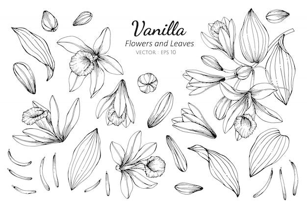 Sammlungssatz der vanilleblume Premium Vektoren