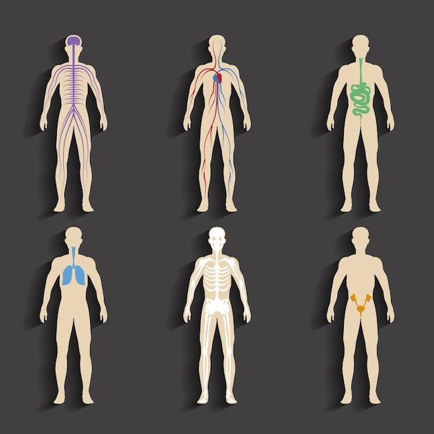 Satz menschlicher organe und systeme der körpervitalität. vektorillustration Kostenlosen Vektoren