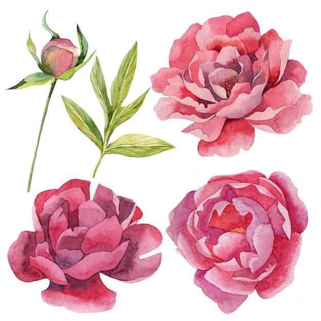 Satz realistische aquarellpfingstrosenblumen und -knospen Premium Vektoren