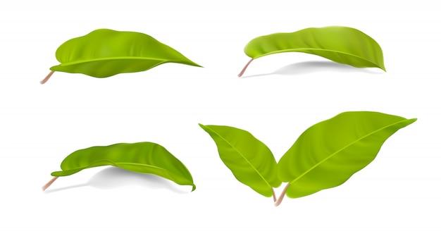 Satz realistische grüne blätter sammlung von philodendron lemon lime auf einem weiß Premium Vektoren