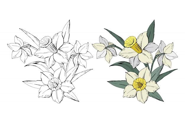 Satz weiße narzisse des blumenstraußes gefärbt und einfarbig Premium Vektoren