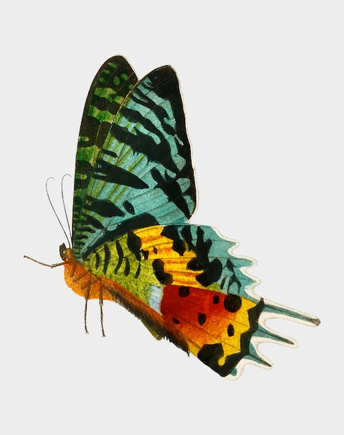 Schmetterling Kostenlosen Vektoren