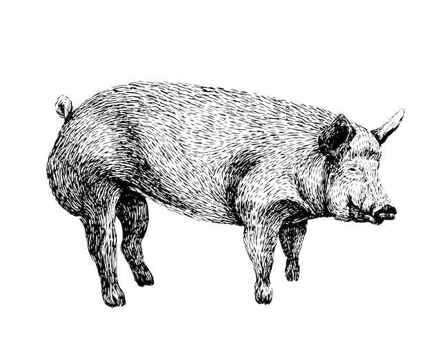 Schweinskizze im vintage-stil Premium Vektoren