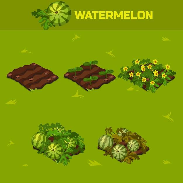 Set 4. isometrisches wachstumsstadium wassermelone Premium Vektoren