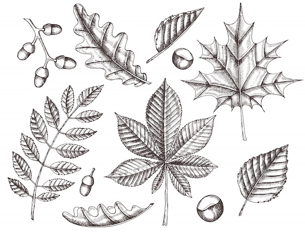 Set herbstblätter. von hand gezeichnete blätter von ahorn, birke, kastanie, eichel, esche, eiche. skizzieren. jahrgang Premium Vektoren
