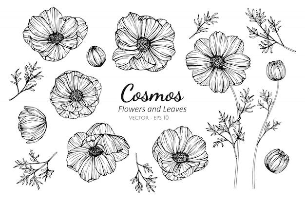 Set kosmosblume und -blätter, die illustration zeichnen. Premium Vektoren