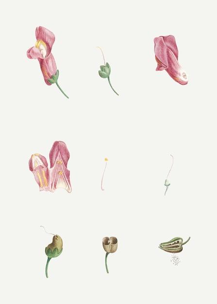 Sezierte drachenblume Kostenlosen Vektoren