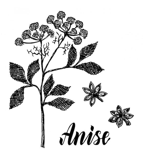Skizze einer anispflanze Premium Vektoren