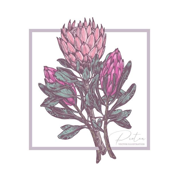 Skizzenzeichnungstrauß der tropischen exotischen blumen protea illustration Premium Vektoren