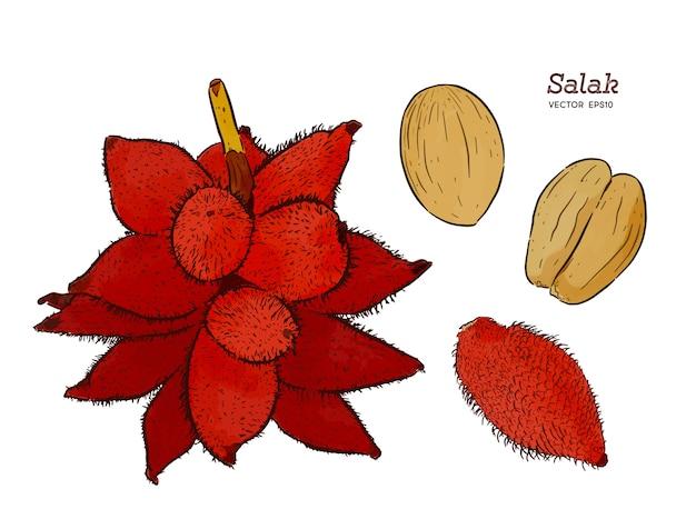 Sommer tropische früchte für einen gesunden lebensstil. salak-frucht skizze vektor hand zeichnen. Premium Vektoren