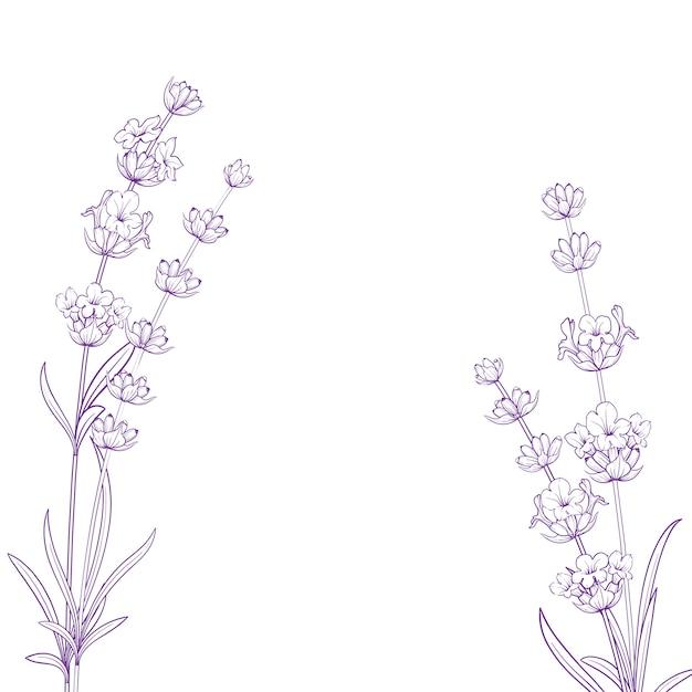 Sommerblumen mit kalligraphiezeichen lavendel-kräutern. bündel der lavendelblume getrennt über weißem hintergrund. Premium Vektoren
