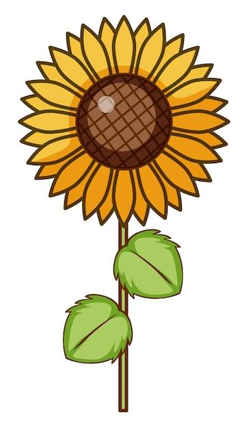 Sonnenblume auf weißem hintergrund Kostenlosen Vektoren