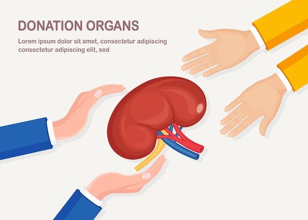 Spendenorgane. menschliche nieren mit arterie und vene in der arzthand d auf weißem hintergrund. anatomie der inneren organe, medizin. freiwillige hilfe für den patienten. Premium Vektoren