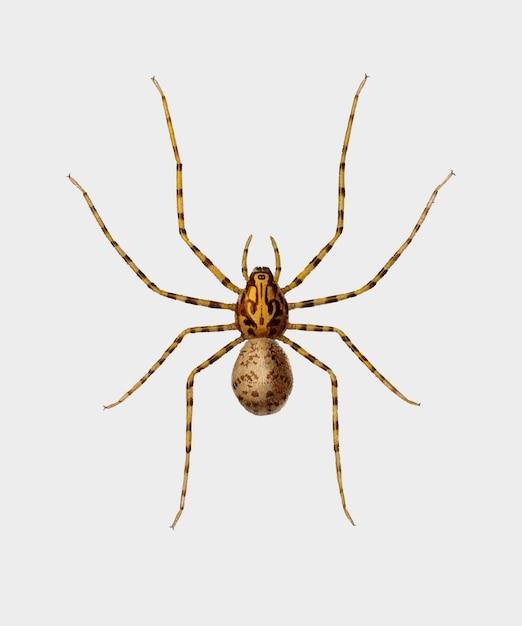 Spinne Kostenlosen Vektoren
