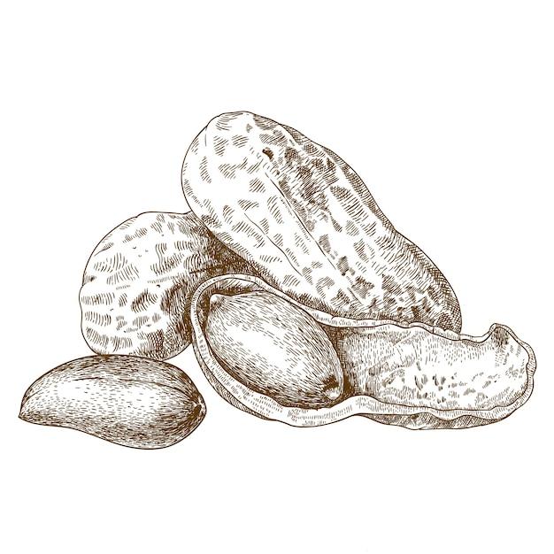 Stichillustration von geschälten erdnüssen Premium Vektoren