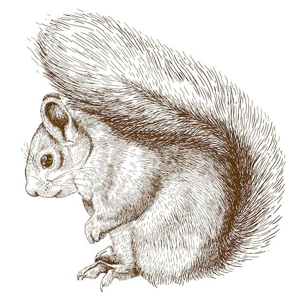 Stichzeichnung des eichhörnchens Premium Vektoren