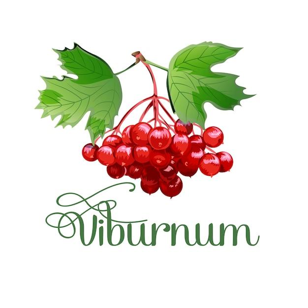 Streichen sie den viburnum. heilpflanze. Premium Vektoren