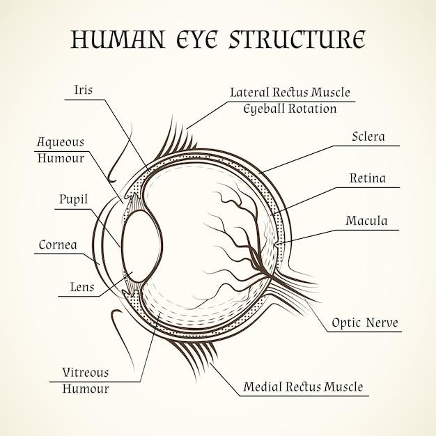 Struktur des menschlichen auges. Kostenlosen Vektoren