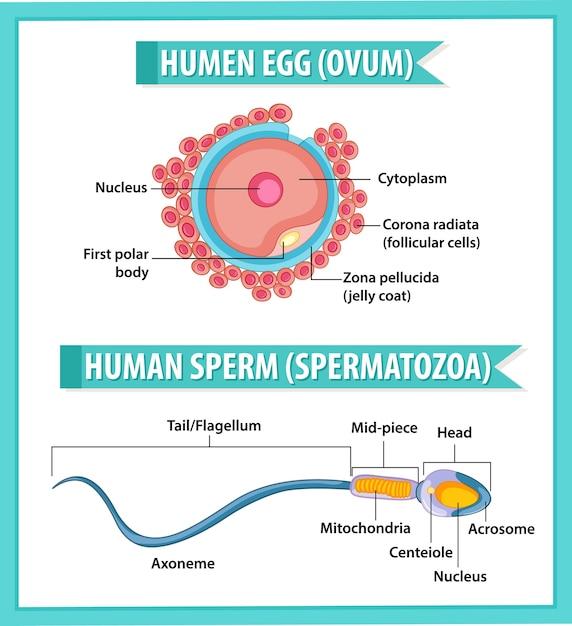 Struktur des menschlichen eies oder der eizelle und menschliches sperma oder spermatazoa für die infografik zur gesundheitserziehung Kostenlosen Vektoren