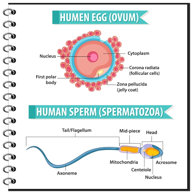 Struktur des menschlichen eies oder der eizelle und