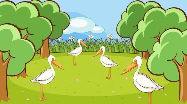 Szene mit vielen pelikanvögeln im park Kostenlosen Vektoren