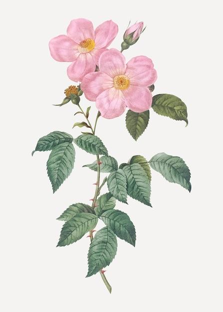Tee duftende rosen in voller blüte Kostenlosen Vektoren